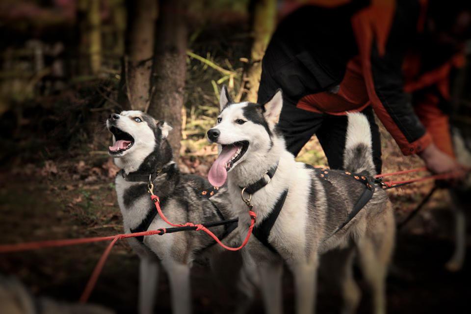 Werkhond DAKOTAH Nuyvilaq Working Dogs