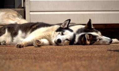 #7 Nuyvilaq Working Dogs Siberian Husky Arrow