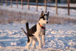 #11 Nuyvilaq Working Dogs Siberian Husky Arrow