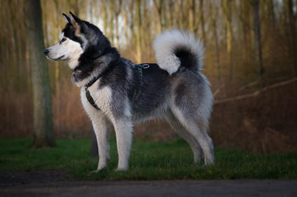 noxy nuyvilaq working dogs hond siberian
