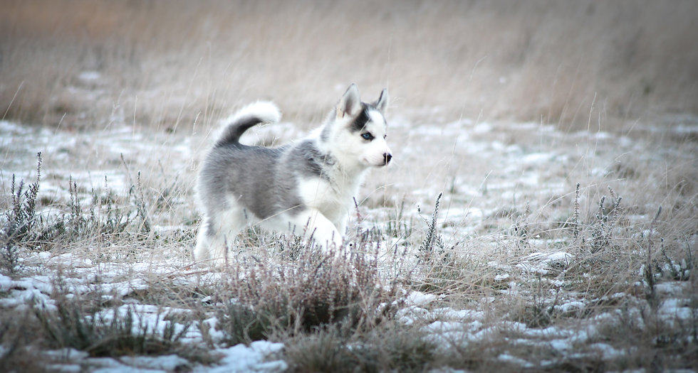Noah nuyvilaq working dogs hond siberian