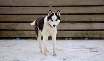#5 Nuyvilaq Working Dogs Siberian Husky Arrow