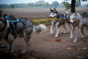 kaya nuyvilaq working dogs hond siberian
