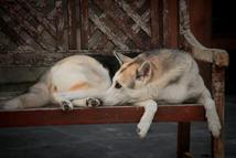 #5 Siberian Husky Werkhond DeeDee OF SAVIGSVIK