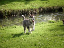 #1 Siberian Husky Werkhond DeeDee OF SAVIGSVIK