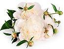 white flower CP3.JPG