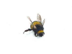 Bee 1, watercolour
