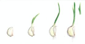 Garlic Growth, watercolour