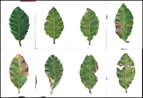 Laurus nobilis, gouache