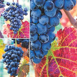 Fer-Grape-Page-9-300x300.jpg