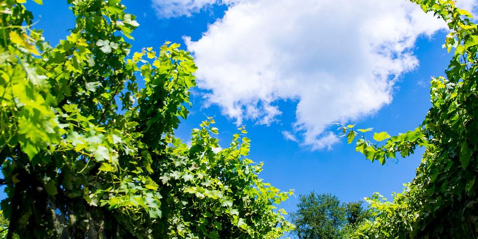 Harvest Vineyard Tour (Sun)