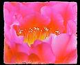 pinkcactusbloom.jpg