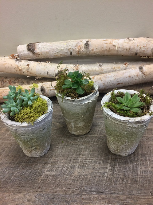 Single Succulent