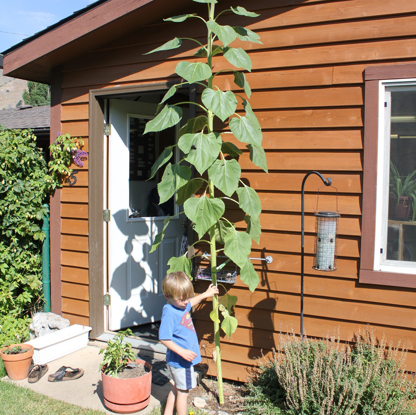 The sunflower is close
