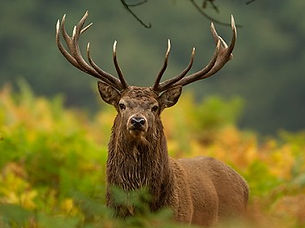 Red deer Stag stare down