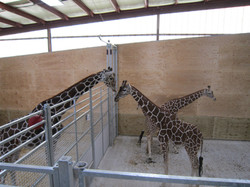 View of giraffes in separate pens but tactile contact still apparent. Photo courtesy of Amber Eagles