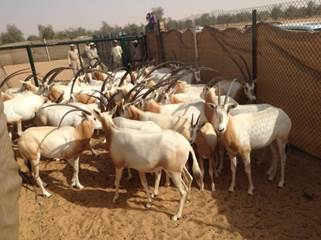 Arabian Oryx Ready for the Tamer 2