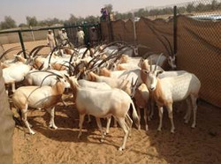 Arabian Oryx Ready for the Tamer 2