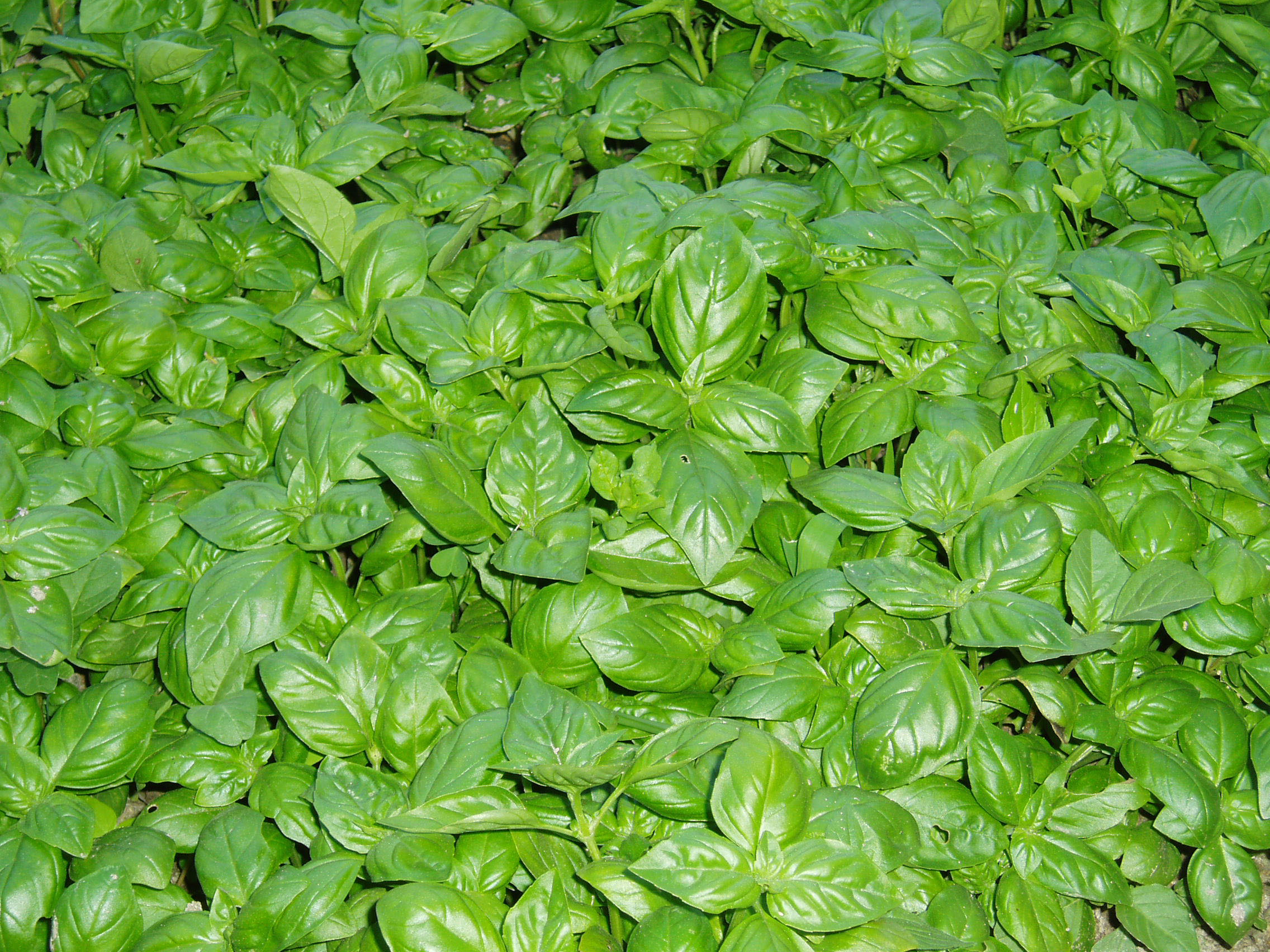 "The ""basil"" of Spotorno"