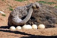ostrich_eggs.jpg