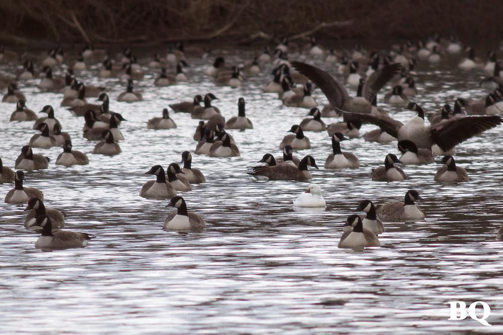 Ross's Goose, Holmdel, NJ, 2016-12-30
