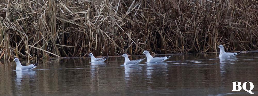 Black-headed Gull with Ring-billed Gulls, John Heinz National Wildlife Refuge, 2016-12-26