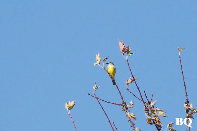Rarity Report - Tropical Kingbird