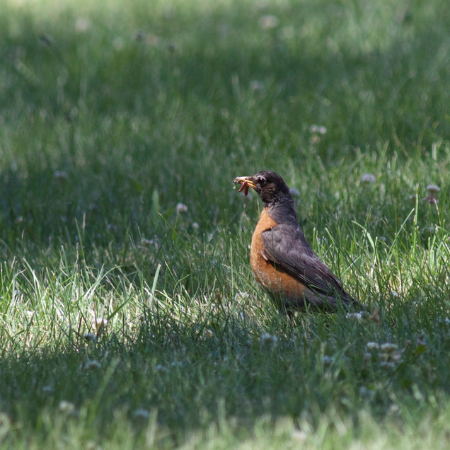 American Robin with Food