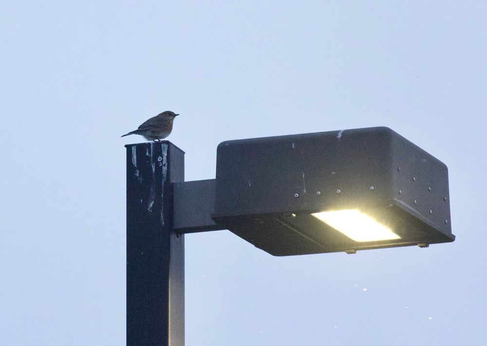 Eastern Bluebird, BSES Parking Lot - 2018-02-02