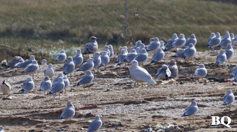 Glaucous Gull, SECCRA - 2017-01-16