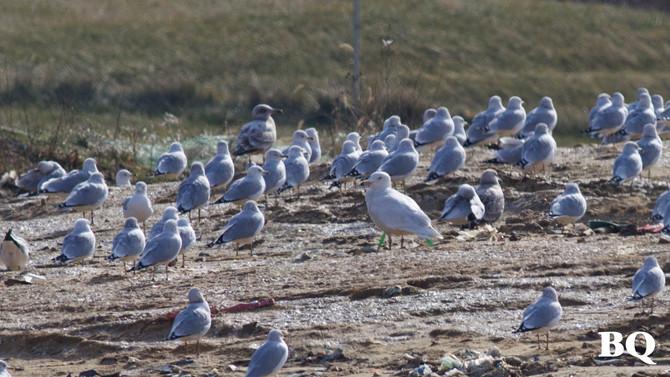 MLK Weekend Landfill Birding