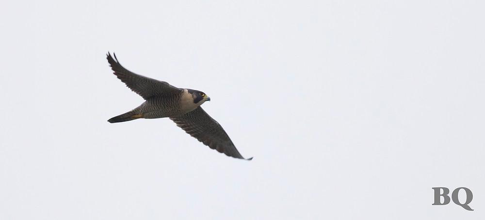Peregrine Falcon, Philadelphia, PA - 2017-01-14