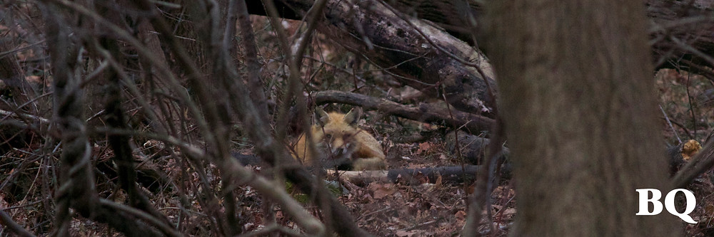 Red Fox, BSES Nature Trail - 2017-01-20