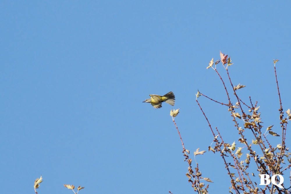 Tropical Kingbird, Peach Bottom, PA - 2016-11-19