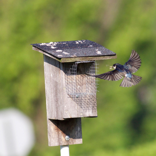 Tree Swallow Going to Nest