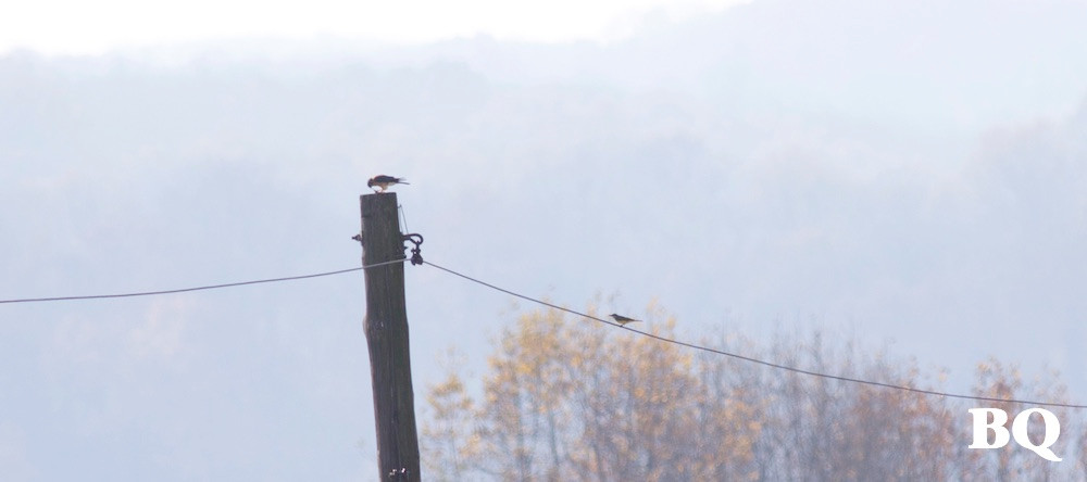 American Kestrel (right) and Tropical Kingbird (left) for comparison - 2016-11-19