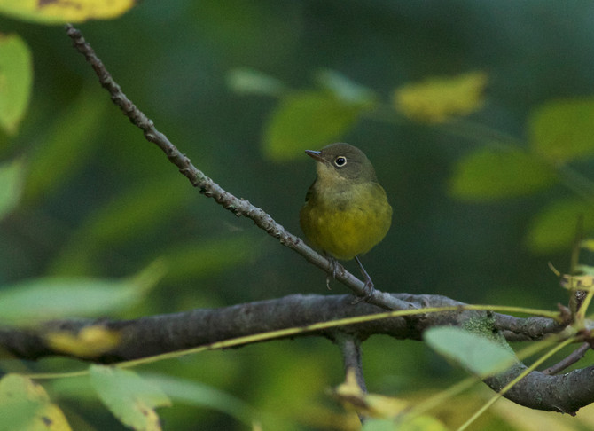 Weekly Report - 2017-09-15 - The Return of the Nashville Warbler!
