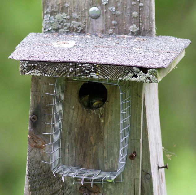 Eastern Bluebird Babies