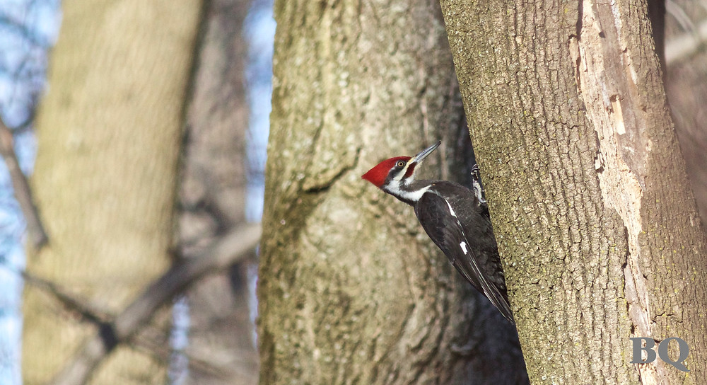 2017-02-17 - Pileated Woodpecker, BSES Nature Trail