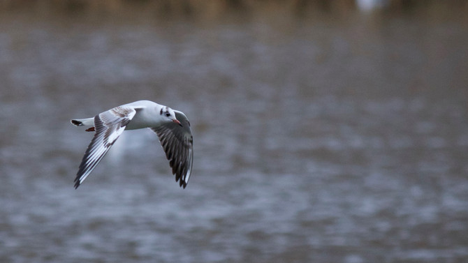 Rarity Report - Black-headed Gull