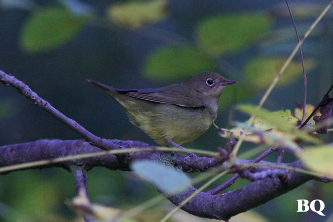 RETRACTION: Weekly Report 2017-09-15 - GOOD NEWS, It's a Connecticut Warbler! Species #122