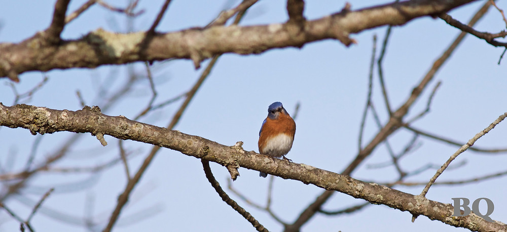 Eastern Bluebird, Abbondi Property - 2017-01-16