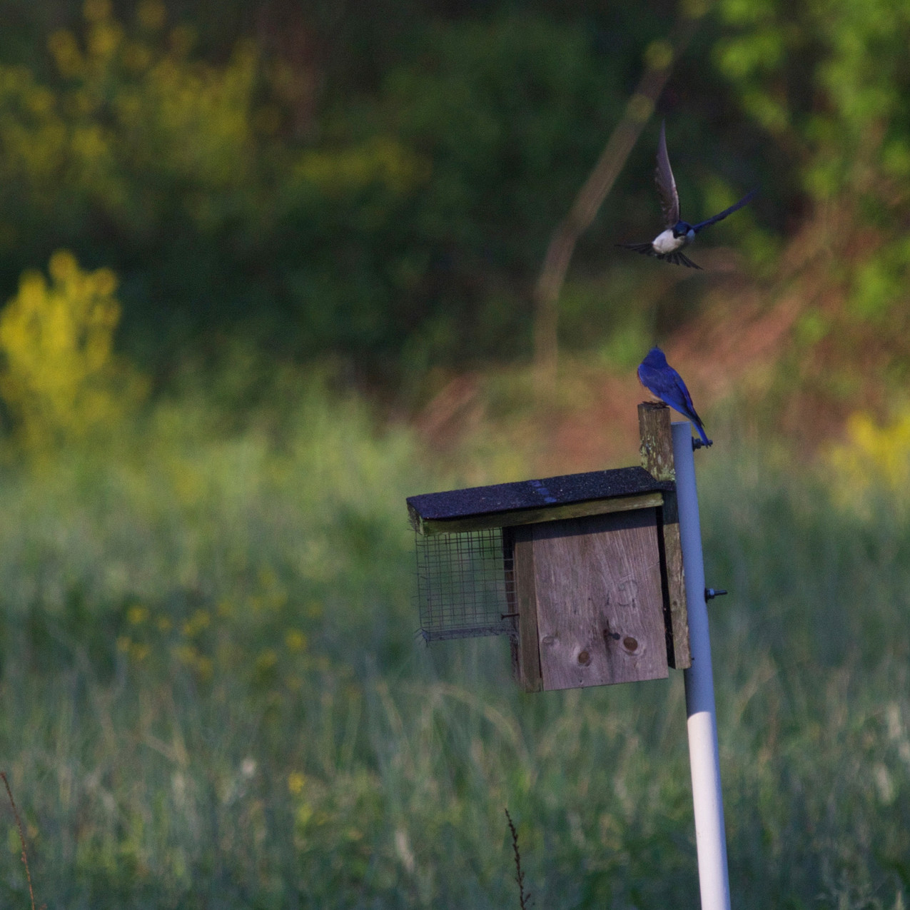 Eastern Bluebird and Tree Swallow