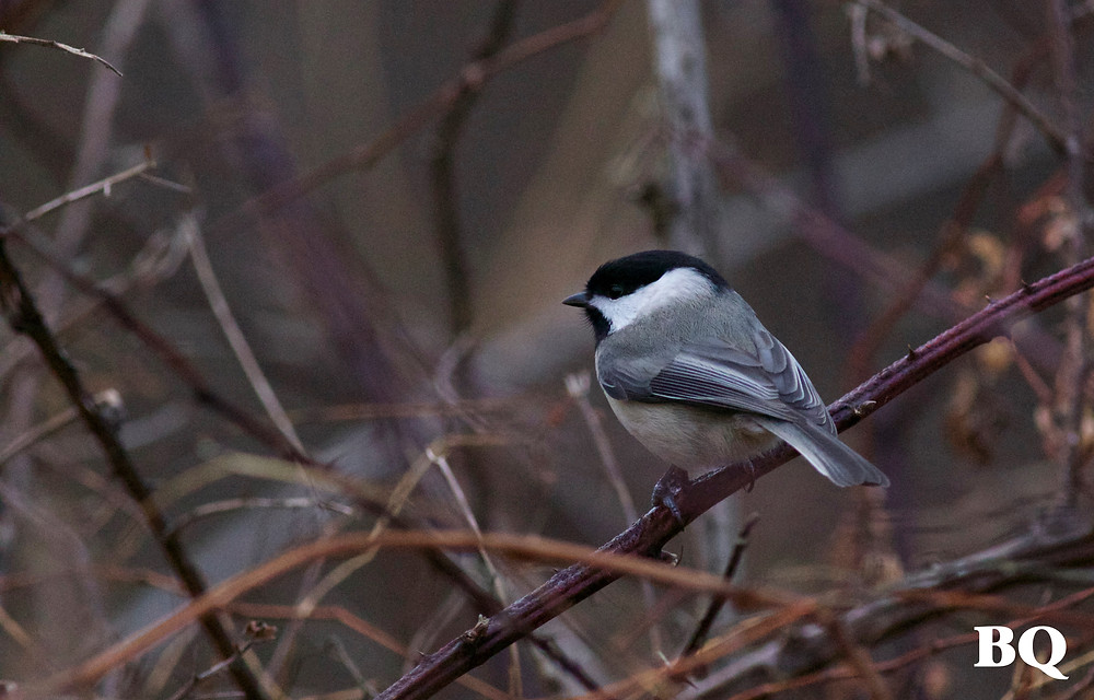 Carolina Chickadee, BSES Nature Trail - 2017-01-20