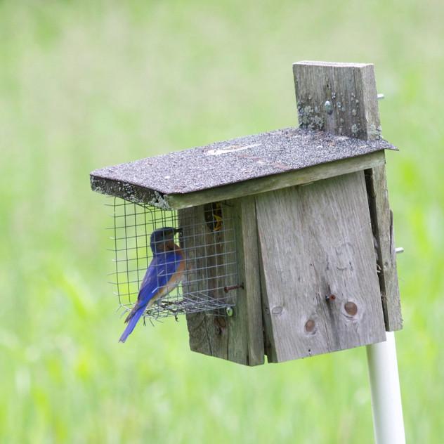 Eastern Bluebird Feeding Baby