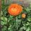Thumbnail: Ranunculus Corms: Orange