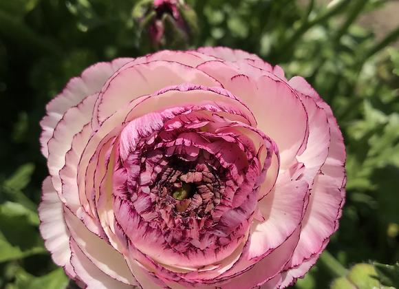 Ranunculus Corms: Pink Picotee