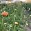 Thumbnail: Ranunculus Corms: Lemon