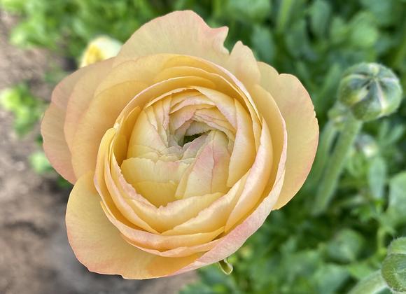 Ranunculus Corms: Lemon