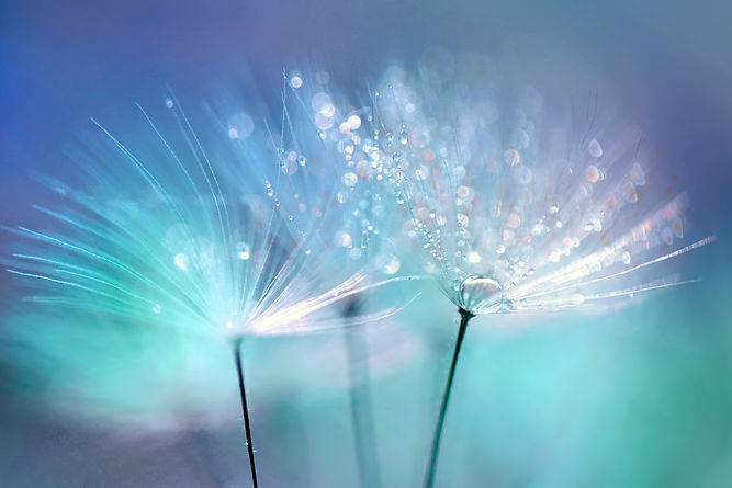 Dandelion Seeds in the drops of dew on a